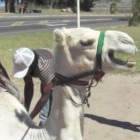 Funny Angry Camel