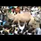 FUNNY Angry Camel Attacks Public Before Qurbani  ( SHAHID KHAN AFRIDI ) Former Cricketer