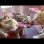 Top best cat videos …. The most Funny cats videos …………. Cute cats doing funny things ….