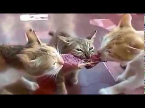 Top best cat videos …. The most Funny cats videos ... Funny Videos Of Cats