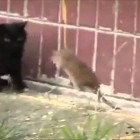 Can You Do This? – Rat Vs Cat