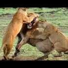 Lions Fight – Lioness vs. Lion( Wild Animal Fights, Wild Animal Attacks, Funny Wild Animals )