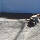 Monster Truck vs Cat lion tiger world's most funniest video ever