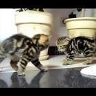 Funny Cats dancing fighting.  Cute Ninja Kittens.