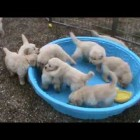 5 week old golden retriever puppies really mad when someone doesn't fill their pool