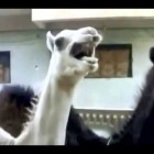 Peter Griffin Camel Tickle vid