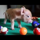 Funny and cute mini pig videos compilation
